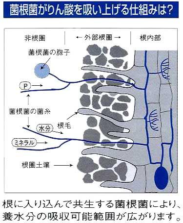 VA菌根菌